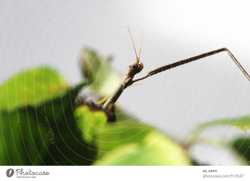 Stabheuschrecke Tier 1 Fressen hocken krabbeln dünn Spitze braun grau grün Tierliebe Begierde gefräßig bizarr exotisch Farbe bedrohlich Klima Natur Umwelt