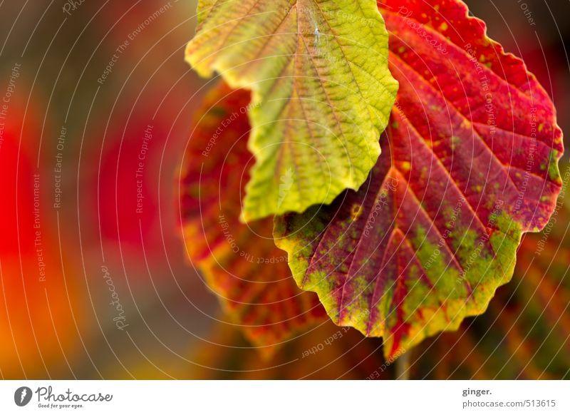 555 | Tach, Herr Herbst! Umwelt Natur Pflanze Schönes Wetter Sträucher Blatt grün rot Herbstlaub herbstlich konträrfarben Blattadern Blattgrün Hecke knallig 3