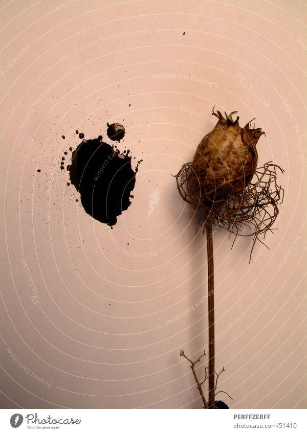 Opium fürs Volk Pflanze schwarz Stengel Fleck vertrocknet getrocknet