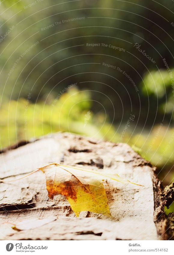 Waldspaziergang Umwelt Natur Pflanze Herbst Baum Blatt Grünpflanze alt entdecken liegen braun gelb grün Einsamkeit Vergänglichkeit Farbfoto Außenaufnahme