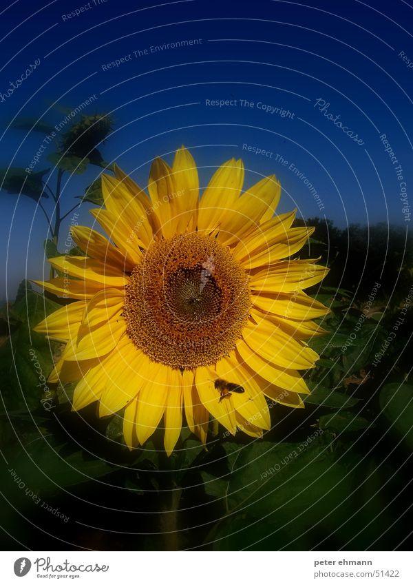 sunflower Blume Sonnenblume gelb grün Hummel Biene Wespen stechen Sommer Feld rund Korn Blüte Blatt Pflanze blau Blühend Ernte necktar Lichterscheinung Natur