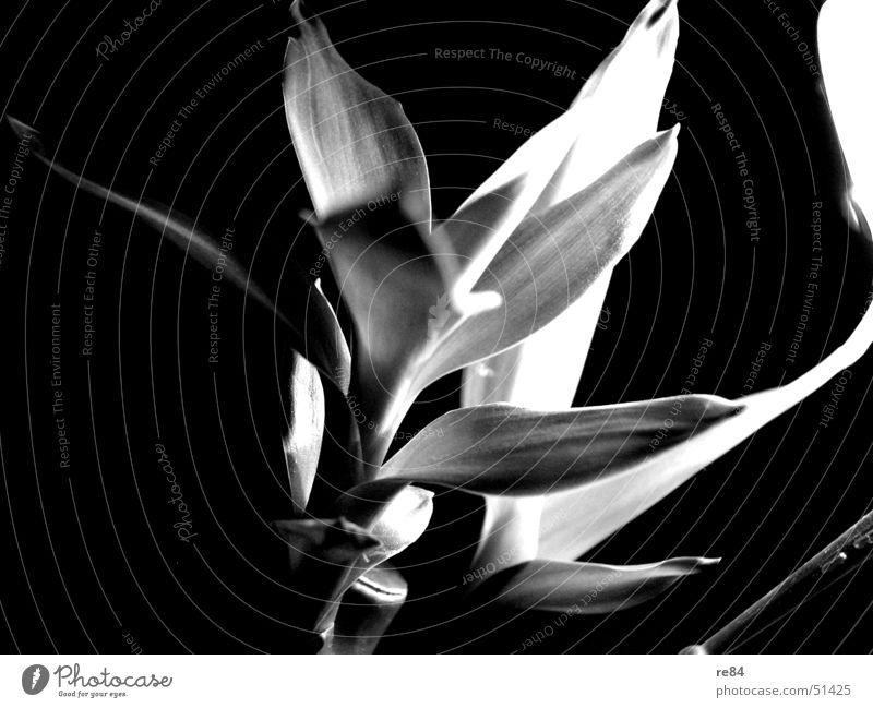 Sie wächst zur Lampe! Licht Pflanze schwarz weiß dunkel erhellend Kontrast blau Bambusrohr ikea Natur bamboo weisend Schatten light! leuchten