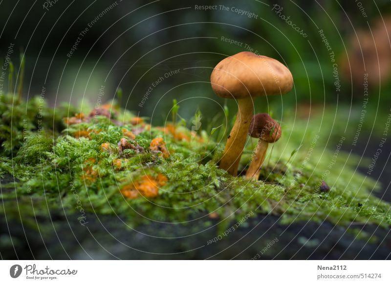 Im Schutz wachsen... Umwelt Natur Pflanze Erde Sommer Herbst Klima Wetter Schönes Wetter Gras Moos Garten Park Wald klein braun grün Pilz Pilzhut Pilzsucher