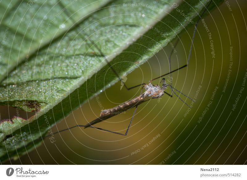 Piekst | Pause vor der Nachtschicht Umwelt Natur Tier Frühling Sommer Herbst Schönes Wetter Pflanze Blatt Garten Park Wald 1 dünn Ekel braun grün Mückenplage