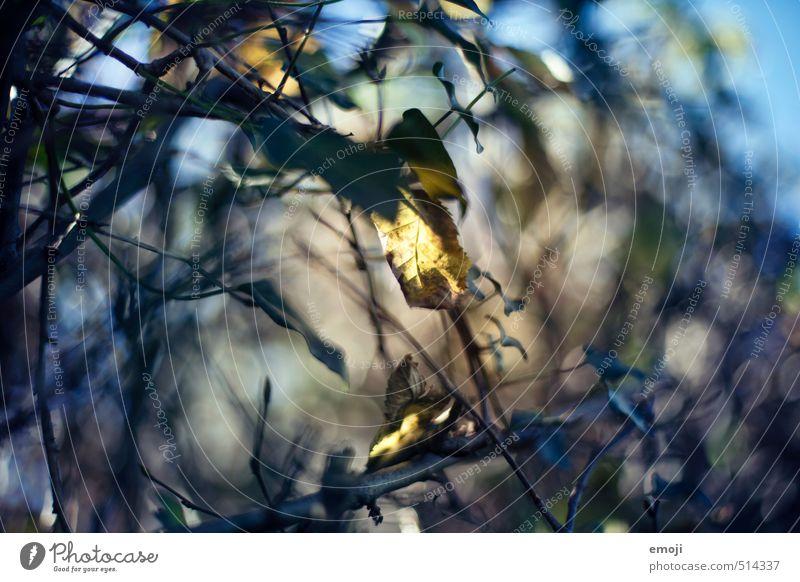 Leuchtblatt Umwelt Natur Pflanze Frühling Herbst Baum Sträucher Blatt natürlich blau gelb Farbfoto Außenaufnahme Nahaufnahme Menschenleer Tag
