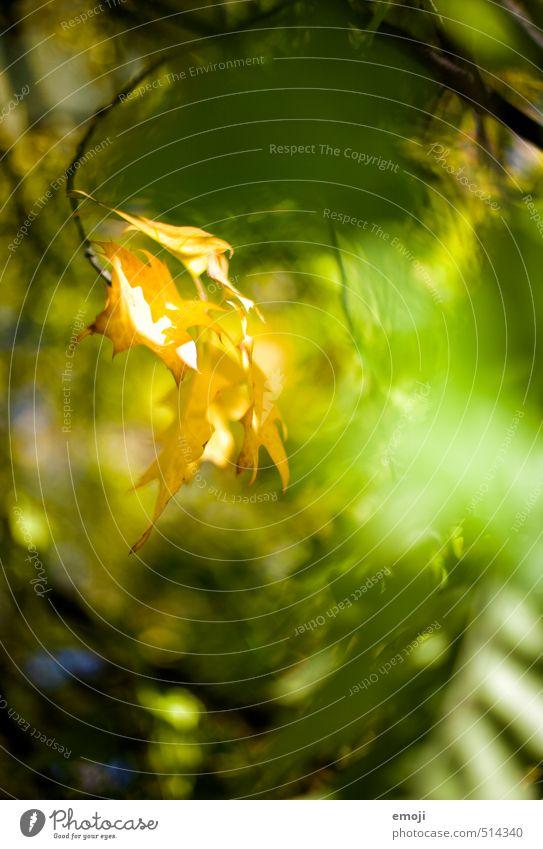 Leuchtkraft Umwelt Natur Landschaft Pflanze Herbst Schönes Wetter Blatt Grünpflanze Wald natürlich mehrfarbig gelb grün leuchten leuchtende Farben Farbfoto