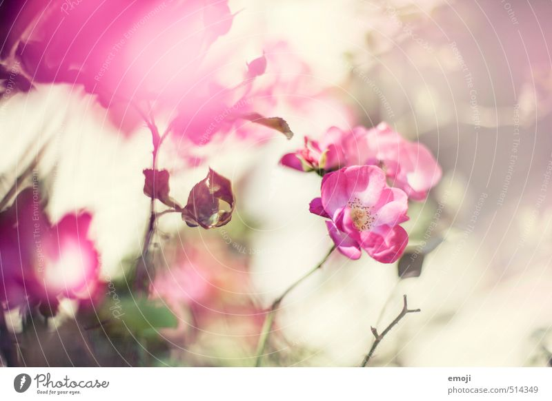 Frühling im Herbst Natur Pflanze Blume Umwelt Frühling Blüte natürlich rosa Rose Duft