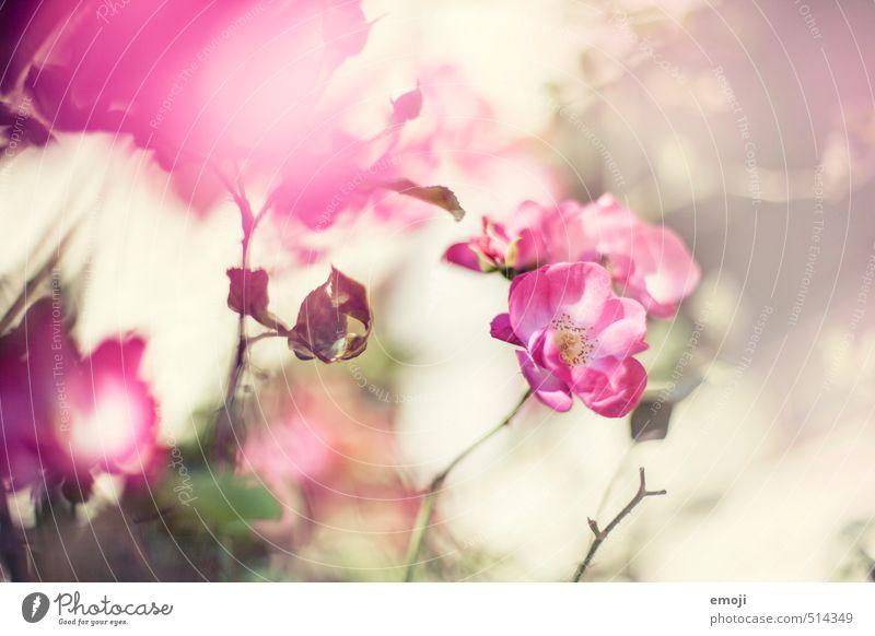Frühling im Herbst Umwelt Natur Pflanze Blume Rose Blüte Duft natürlich rosa Farbfoto Außenaufnahme Nahaufnahme Menschenleer Tag Schwache Tiefenschärfe