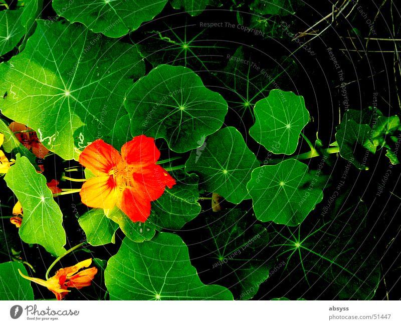 Farbrausch grün rot gelb schwarz mehrfarbig Blume Blatt Grünpflanze intensiv Klarheit Wiese Natur Makroaufnahme Nahaufnahme Pflanze orange Detailaufnahme