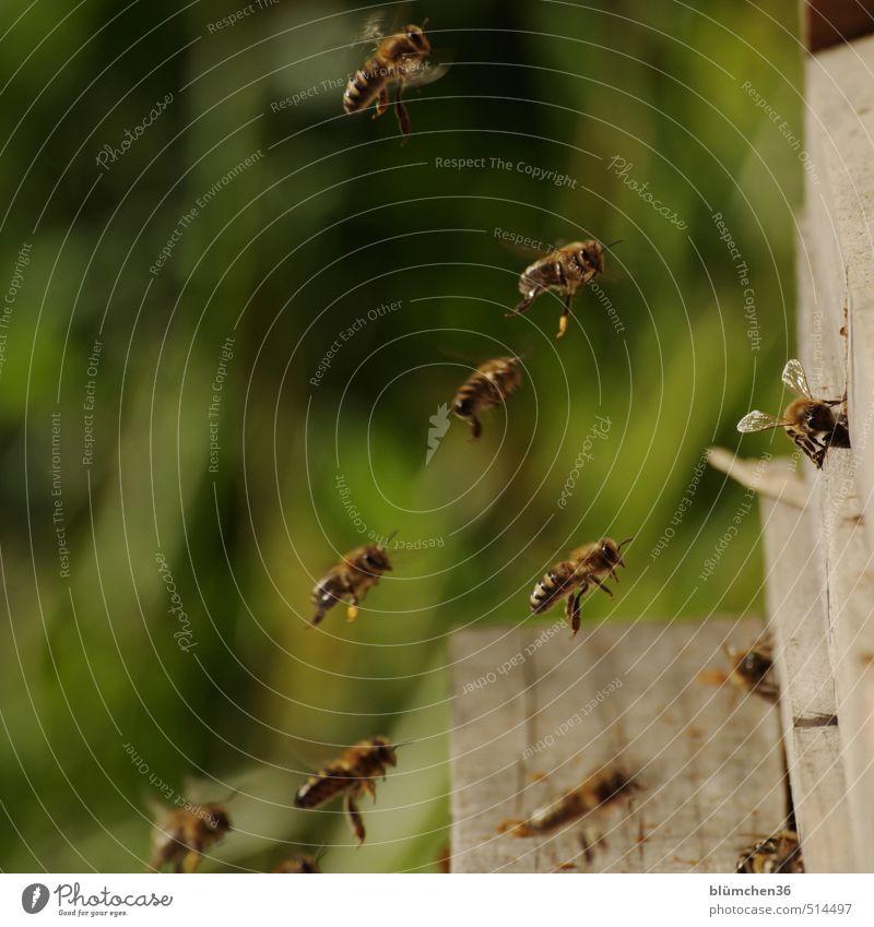 Kuschelgruppe | Bienenschwarm Tier Nutztier Honigbiene Insekt Schwarm Arbeit & Erwerbstätigkeit fliegen tragen ästhetisch klein schön Tierliebe Frühlingsgefühle
