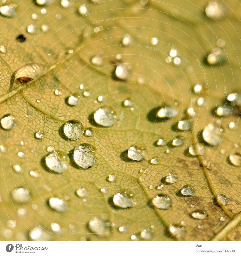 Dropse Natur Pflanze Urelemente Wasser Wassertropfen Herbst Blatt Blattadern nass gelb Farbfoto Gedeckte Farben Außenaufnahme Detailaufnahme Makroaufnahme