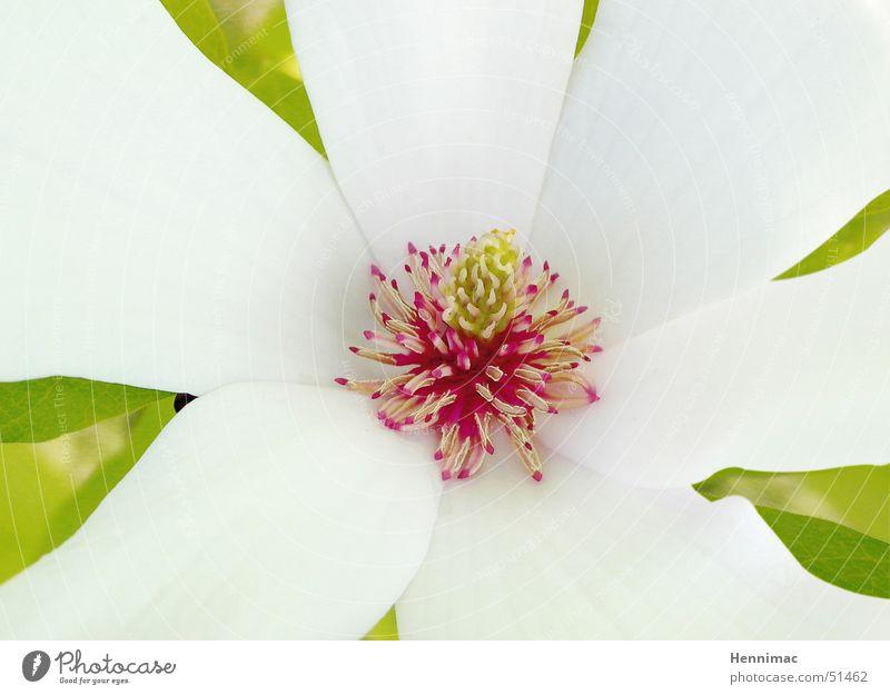 Ein kleiner Einblick in die Schöpfung! Blume Blüte Pflanze mehrfarbig Blatt Stempel Natur Makroaufnahme Farbe Farbstoff Detailaufnahme rot weiß schön ästhetisch