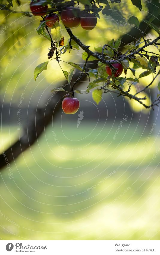 Wilhelm Tell Lebensmittel Frucht Apfel Bioprodukte Erholung Essen hängen grau rot harmonisch Landleben Apfelbaum Baum Herbst herbstlich Ernte Farbfoto