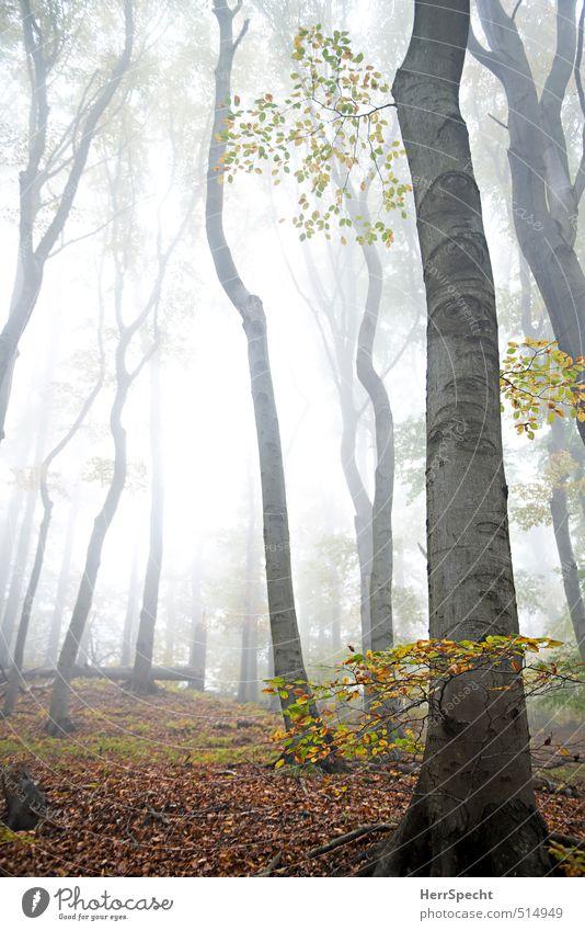 Nebelwald Umwelt Natur Landschaft Pflanze Herbst Baum Blatt Buche Buchenwald Laubwald Wald Hügel Berge u. Gebirge Wiener Wald ästhetisch gruselig natürlich