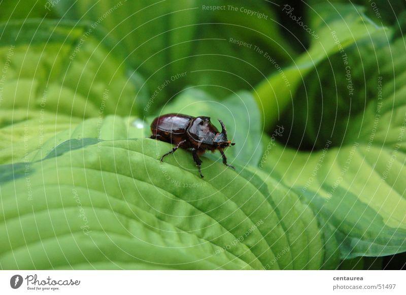 Nashorn Blatt Tier Insekt Käfer Natur ... Außenaufnahme