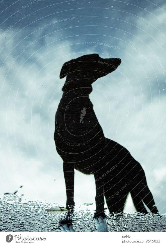 aerodynamisch Natur Luft Wasser Himmel Wolken Herbst schlechtes Wetter Regen Wege & Pfade Tier Haustier Hund Windhund 1 beobachten Denken Jagd stehen warten