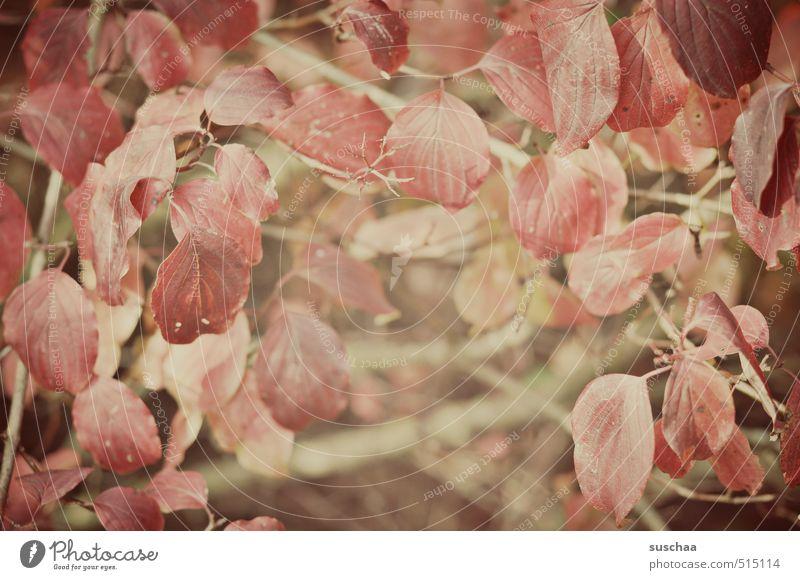 blättrig Natur Pflanze Herbst Sträucher Blatt Wärme rot Geäst Unterholz Farbfoto Gedeckte Farben Außenaufnahme Muster Strukturen & Formen Tag
