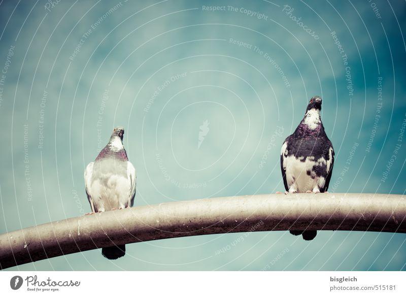 Taubenpärchen Himmel Wolken Vogel 2 Tier sitzen blau grau Farbfoto Außenaufnahme Menschenleer Textfreiraum oben Tag