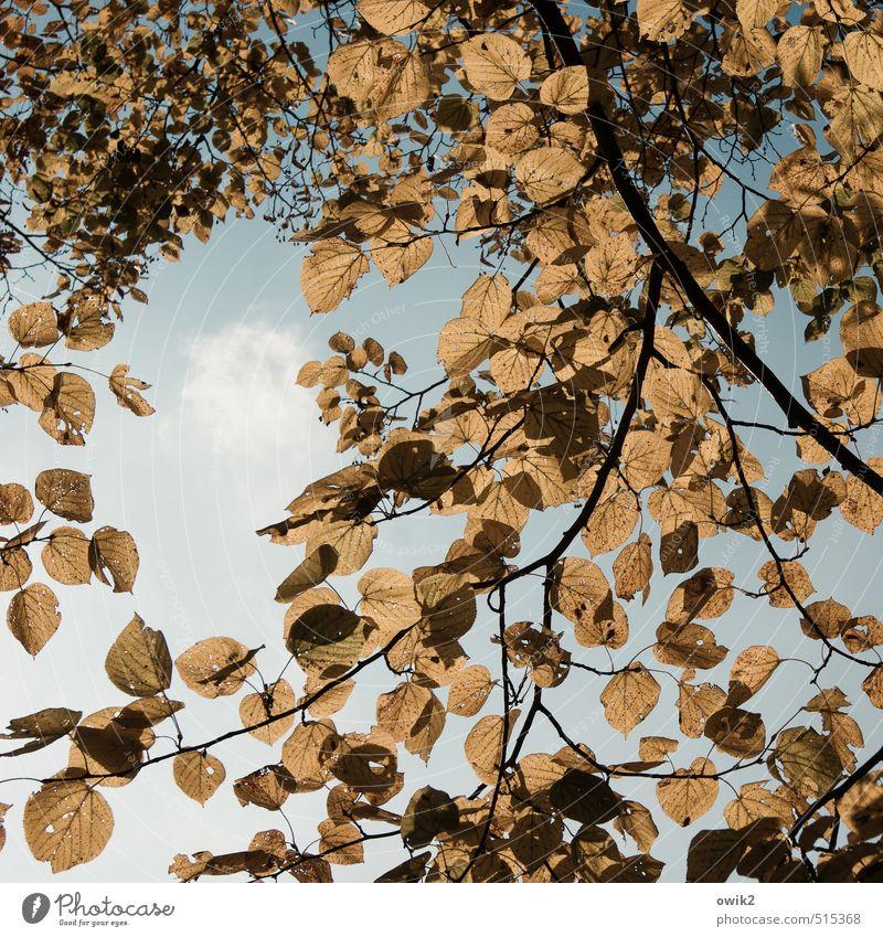 Vor dem Fall Umwelt Natur Landschaft Pflanze Wolkenloser Himmel Herbst Klima Wetter Schönes Wetter Baum Blatt Laubbaum dehydrieren hell natürlich trocken viele