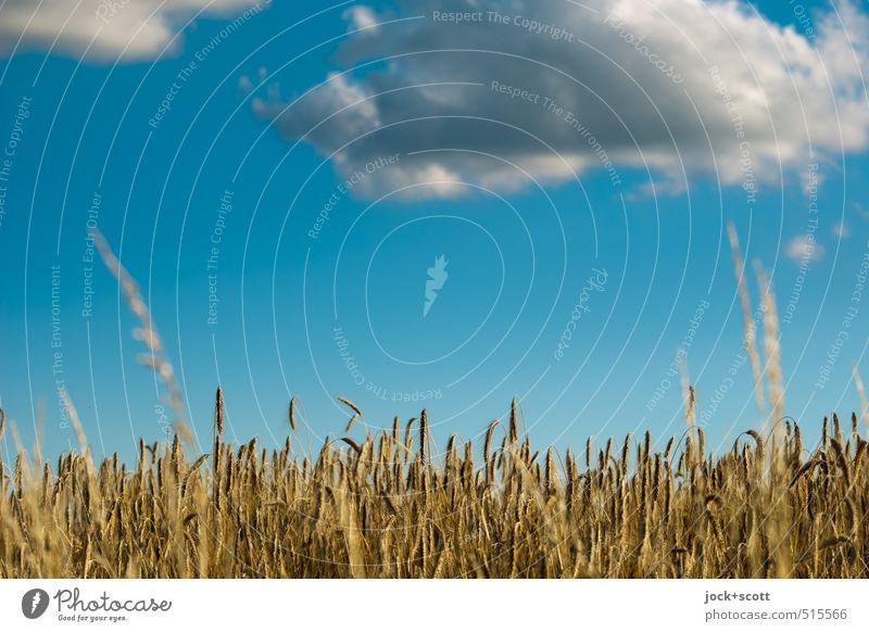 Levitation über Getreidefeld Natur Luft Himmel Wolken Sommer Klima Schönes Wetter Wärme Nutzpflanze Feld fliegen Wachstum authentisch natürlich blau