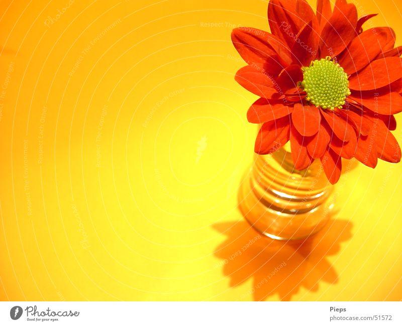 Fröhlich-Frisch Farbfoto Innenaufnahme Makroaufnahme Textfreiraum links Schatten Pflanze Blume Blüte Dekoration & Verzierung Blühend ästhetisch gelb rot