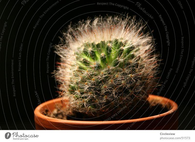 Weich, oder Stachelig? grün Pflanze schwarz weich Spitze Topf Kaktus Blumentopf Zimmerpflanze