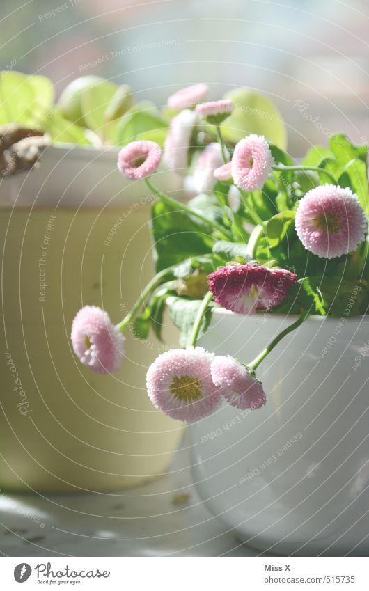 Bellis Dekoration & Verzierung Frühling Blume Blüte Topfpflanze Blühend Gänseblümchen Blumentopf Fensterbrett Farbfoto Innenaufnahme Nahaufnahme Menschenleer