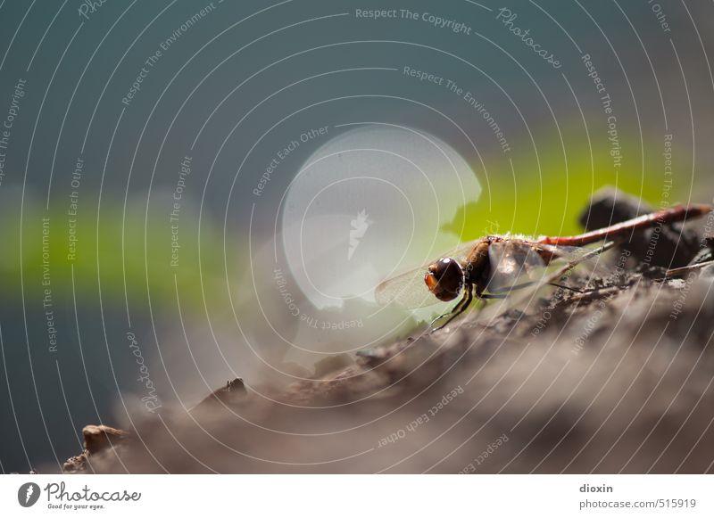 Lake Bears 2013 | Rise Umwelt Natur Sonnenlicht Tier Wildtier Flügel Libelle Insekt Libellenflügel Facettenauge hocken sitzen klein natürlich Farbfoto