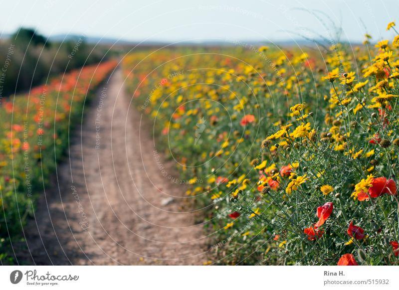 WildBlüten Umwelt Natur Landschaft Pflanze Horizont Frühling Sommer Schönes Wetter Blume Wildpflanze Wiese Feld Wege & Pfade Blühend natürlich gelb grün rot