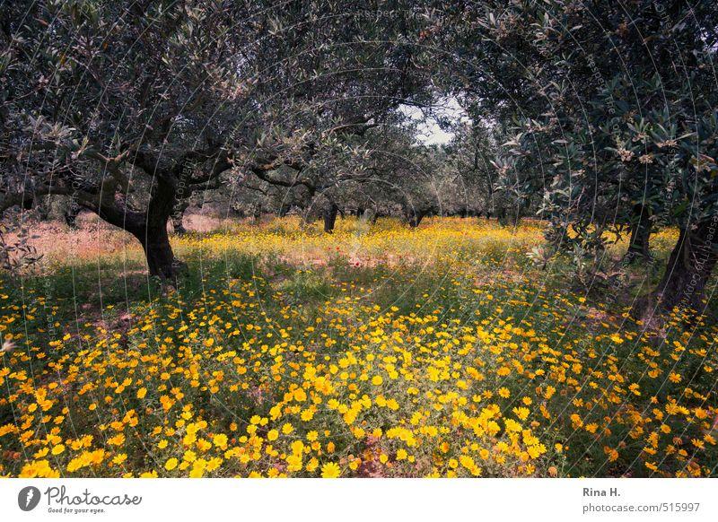 OlivenHain Natur Pflanze Baum Landschaft Blume Umwelt Frühling natürlich Feld Schönes Wetter Blühend Wildpflanze Olivenbaum Olivenhain