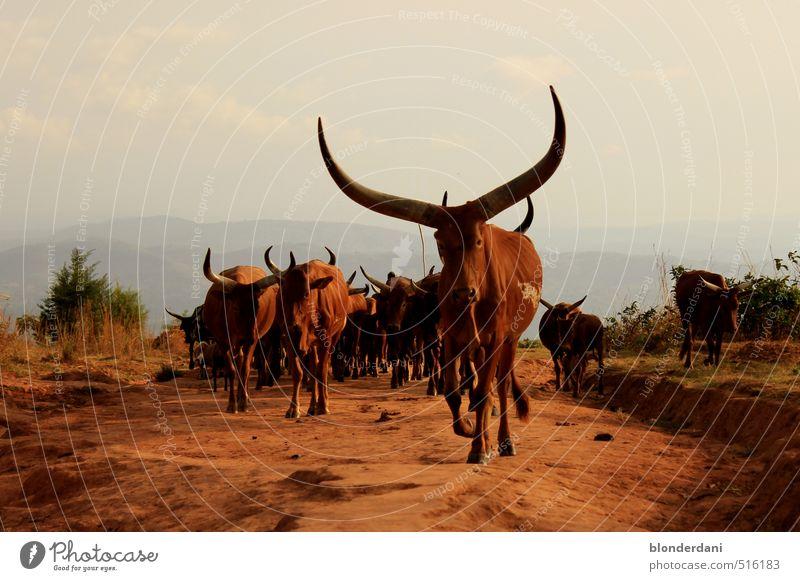 Kudos! Fleisch Ernährung Stil Körper Duft Sommer Sommerurlaub Feierabend Umwelt Natur Landschaft Erde Horizont Dorf Kuh Fährte Tiergruppe Herde füttern rot