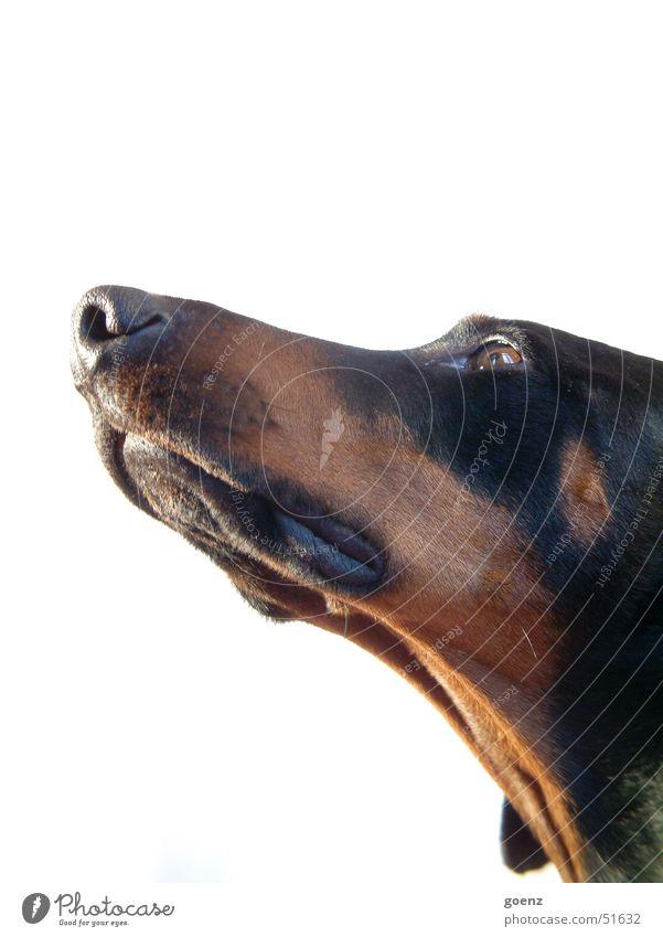 Beute geschnuppert ! Hund Hundekopf Dobermann Fell Tier Schnauze