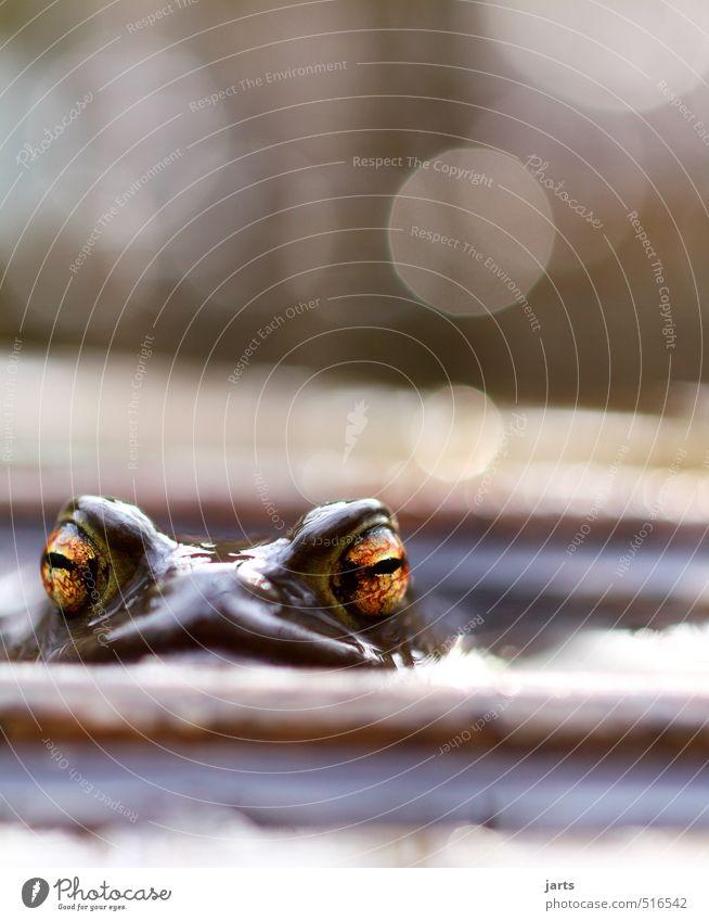 große augen machen Tier Wildtier Frosch 1 Blick Schwimmen & Baden natürlich Natur Auge Farbfoto Außenaufnahme Nahaufnahme Menschenleer Textfreiraum oben Tag