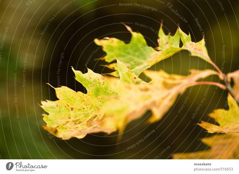 Ahornblatt im Herbst Pflanze Blatt Wald alt herbst Herbstlaub herbstlich Herbstbeginn Herbstfärbung färben grün-gelb Farbfoto Gedeckte Farben Außenaufnahme