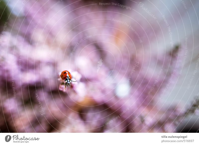 Pünktchen Natur Farbe Pflanze rot Tier rosa Insekt Käfer krabbeln Marienkäfer