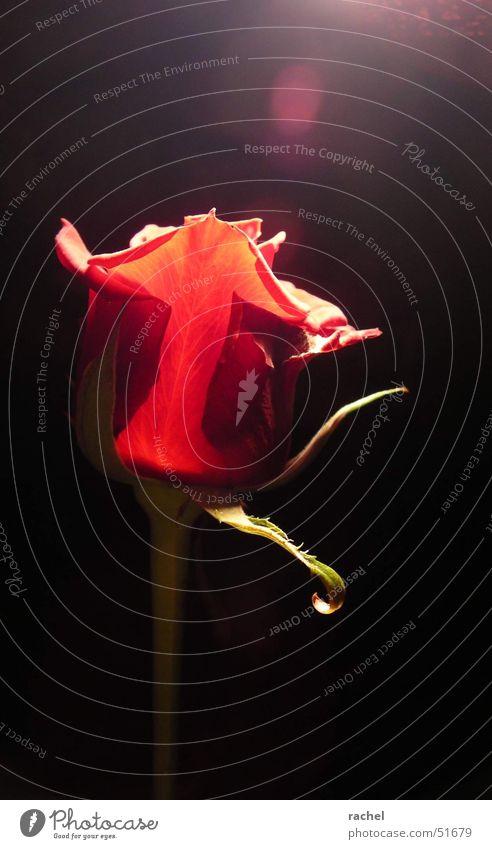 enlightened Natur Pflanze grün Blume rot Blatt dunkel schwarz Blüte Gefühle Beleuchtung Glück Feste & Feiern Lampe Zufriedenheit Blühend
