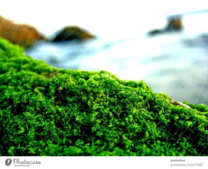 einfach nur Moos auf einem Stein am Meer weich Pflanze bewachsen See grün ruhig Strand Muster Grünkohl Brokkoli Kale Natur Makroaufnahme Küste moss overgrown