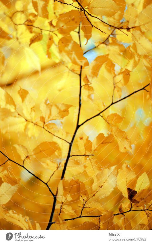 Gold Natur Sonne Sonnenlicht Herbst Schönes Wetter Baum Blatt gelb gold Herbstlaub Herbstfärbung Herbstbeginn Buche Zweige u. Äste Buchenblatt herbstlich