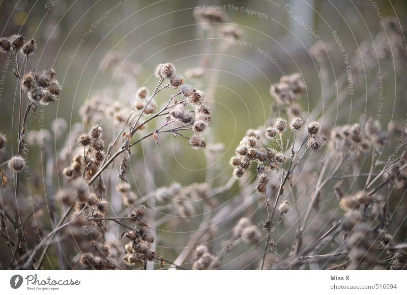 Trocken Herbst Sträucher verblüht dehydrieren trocken grau Distel Distelblatt stachelig Farbfoto Gedeckte Farben Außenaufnahme Muster Menschenleer Morgen Licht