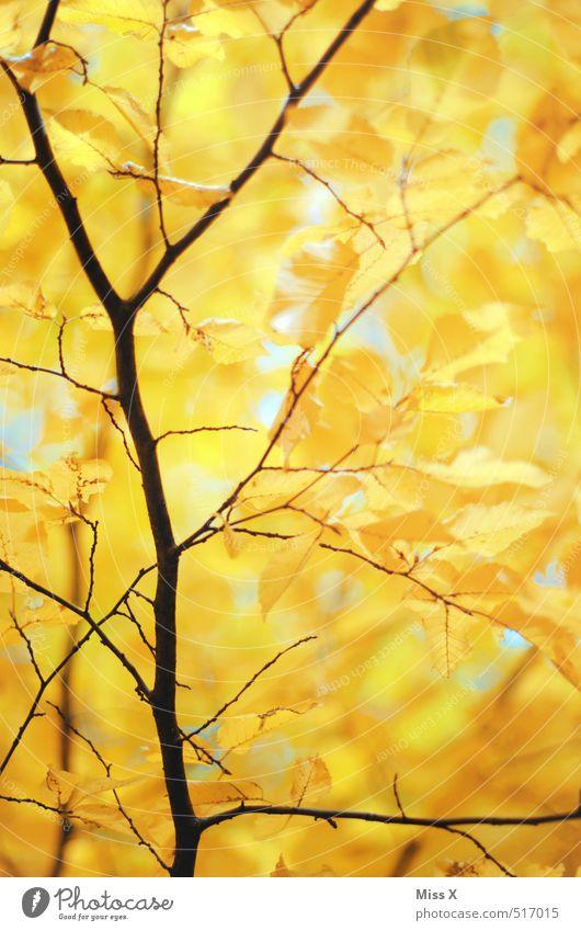 Zartes Gold Baum Blatt Wald gelb Herbst gold Schönes Wetter Ast Herbstlaub herbstlich Herbstfärbung Herbstbeginn Zweige u. Äste Buche Buchenblatt
