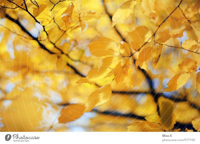 Gelbe Buche Herbst Schönes Wetter Baum Blatt hell Wärme gelb gold Herbstlaub Buchenblatt Herbstfärbung Herbstbeginn Herbstwald Ast Zweig Zweige u. Äste Oktober