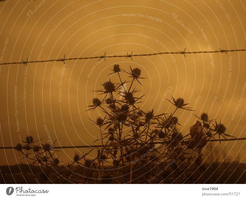 between darkness and wonder Natur Himmel Pflanze Wolken Ferne dunkel kalt Traurigkeit Grenze Zaun Stachel schlechtes Wetter Stacheldraht Distel Stacheldrahtzaun