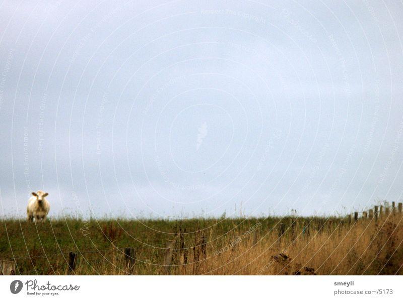 stille Wiese Kuh Tier Gras Einsamkeit Wolken grün Bulle Fressen Zaun Berge u. Gebirge Säugetier Himmel Weide ruhig