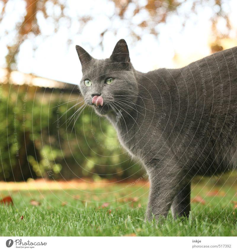 :-P Katze Natur Sommer Tier Gefühle Herbst Gras Garten genießen Ernährung Tiergesicht Jagd Haustier Zunge lutschen Jagdrevier