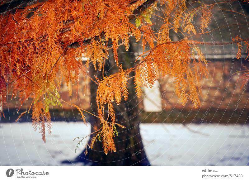 sumpfzypresse - das etwas andere herbstlaub Natur Pflanze Baum rot Winter Herbst Schnee außergewöhnlich orange herbstlich Herbstfärbung Nadelbaum Konifere