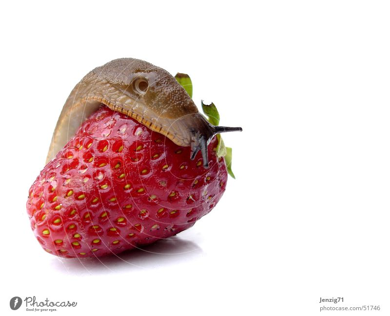 Auch Sie mag Sie. Schnecke rot lecker Nacktschnecken Wegschnecke Erdbeeren Frucht strawberry