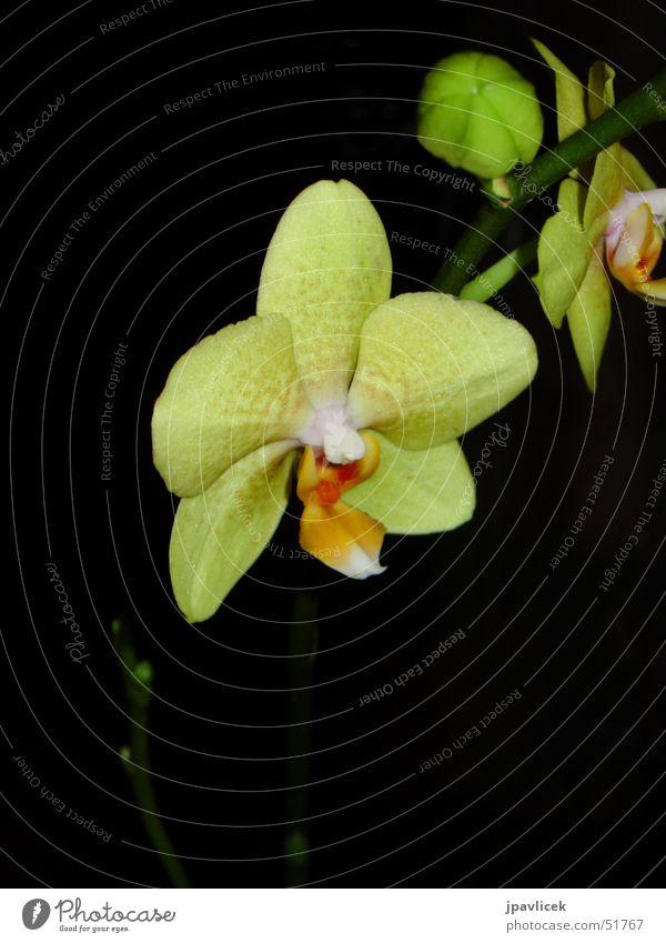 Orchidee bei Nacht Blume gelb dunkel