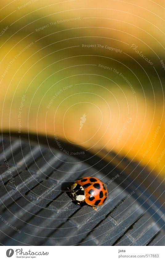 bequemes objektiv Natur Herbst Tier Käfer Marienkäfer Insekt krabbeln sitzen frech klein niedlich rot Glück Zufriedenheit Sicherheit Schutz Warmherzigkeit