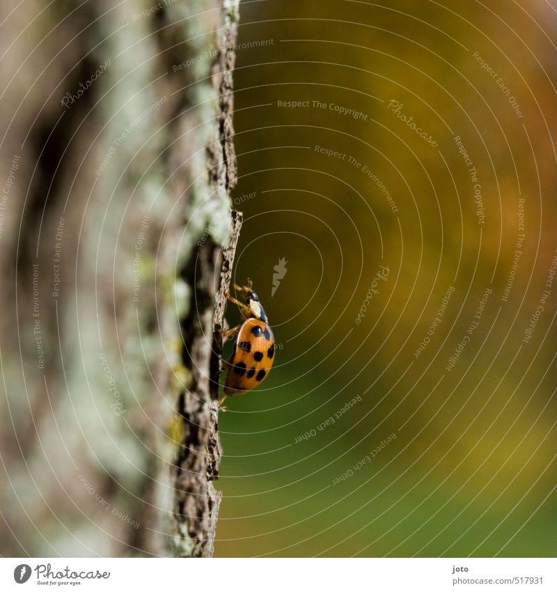 senkrechte straße Herbst Baum Baumrinde Park Tier Käfer Insekt Marienkäfer krabbeln niedlich orange Zufriedenheit Gelassenheit entdecken Neugier Umwelt Wachstum