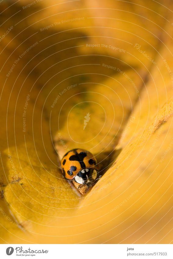 herzlich Natur Tier Herbst Blatt Herbstlaub Käfer Insekt Marienkäfer krabbeln klein niedlich orange Zufriedenheit Abenteuer entdecken Umwelt Wege & Pfade Punkt